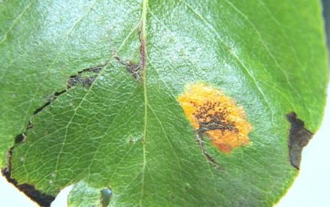 Промежуточное растение-хозяин - Листья груши обыкновенной с эциями Gymnosporangium sabinae