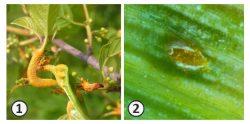 Разнохозяинный вид - <i>Puccinia coronate</i> на овсе и облепихе
