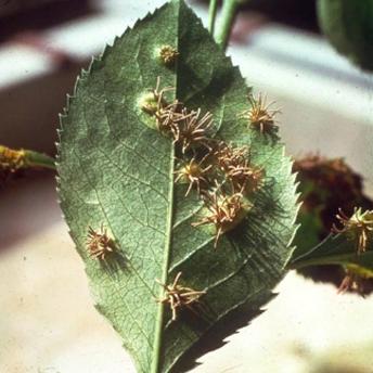 Эций - Эции Gymnosporangium asiaticum на листе груши