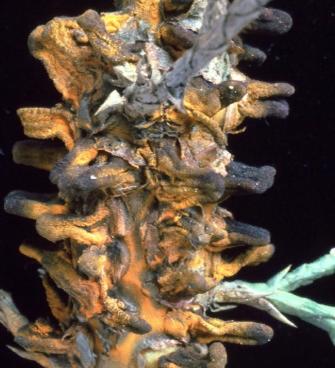 Основное растение-хозяин -  Телиостадия <i>Gymnosporangium sabinae</i>