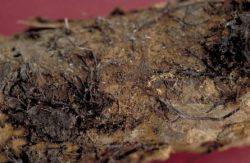 Дикариотичный мицелий - Дикариотичный мицелий <i>Armillaria mellea</i>
