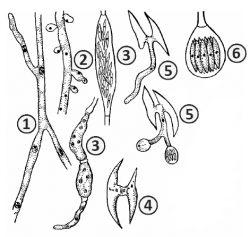 Гаплоидный мицелий -  Сперматофора хлопчатниковая <i>(Spermophthora gossipii)</i>