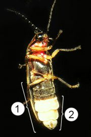 Брюшко насекомых - Орган свечения на брюшке светляка