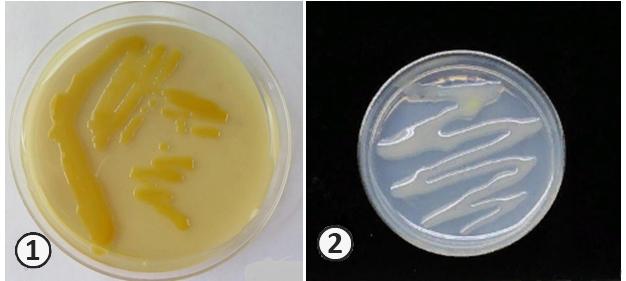 Фенотипические критерии систематики - Чистые культуры бактерий