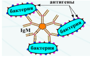 Серологические критерии систематики - Схема реакции прямой агглютинации