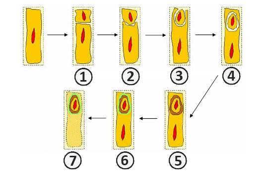 Споруляция - Схема процесса спорообразования: