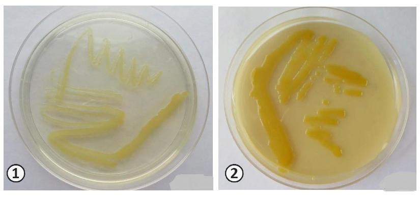 Размножение бактерии - Размножение бактерий <i>Xanthomonas campestris</i>