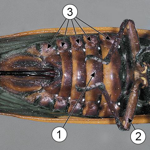 Дыхальца - Брюшные дыхальца цикады