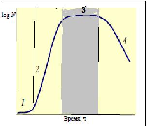 Стационарная фаза - Стационарная фаза на кривой роста бактериальной популяции