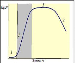 Экспоненциальная фаза - Экспоненциальная фаза роста