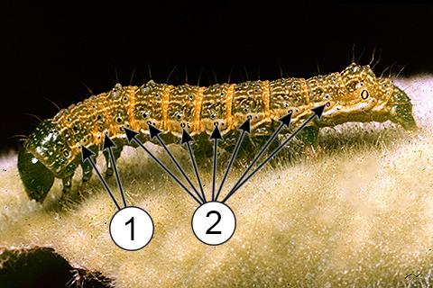 Дыхальца - Дыхальца у гусеницы
