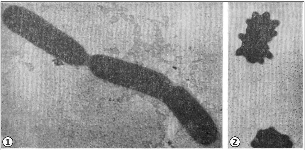 Фототрофы - Зеленые бактерии
