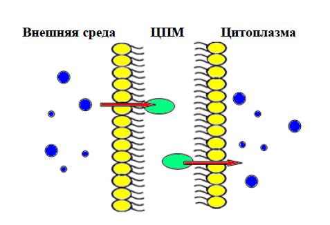 Транспорт питательных веществ - Схема процесса облегченной диффузии