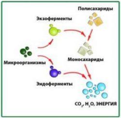 Ферменты микроорганизмов - Действие экзо- и эндоферментов бактерий