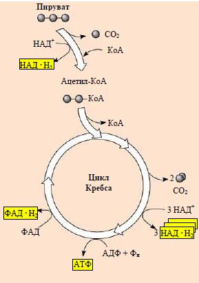 Цикл реакций Кребса - Схема цикла реакций Кребса