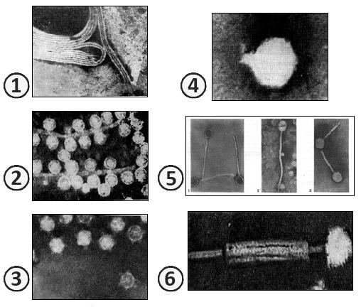 Бактериофаг - Электронная микроскопия бактериофагов