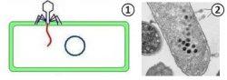 Литический цикл - Введение нуклеиновой кислоты (НК) фага в бактериальную клетку