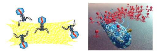 Литический цикл - Выход вирионов фага из бактериальной клетки