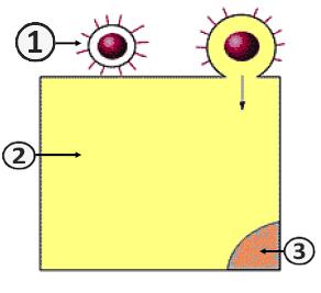Репродукция вируса - Проникновение вируса в клетку (Путь I)