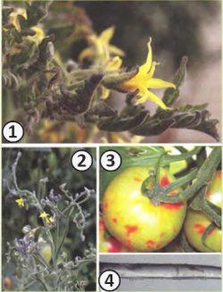 Абортивность вирусная - Симптомы Аспермии томата (возбудитель – Tomato aspermy virus).