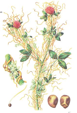 Вектор - Повелика полевая (Cuscuta campestris) – вектор вируса (CMV)