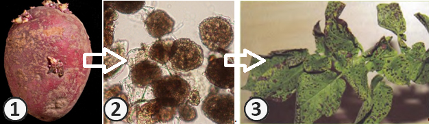 Векторная передача - Схема векторной передачи Х-вируса картофеля (ХВК) грибом Spongospora subterranea