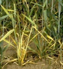 Симптомы вирусных болезней растений - Угнетение роста озимой пшеницы