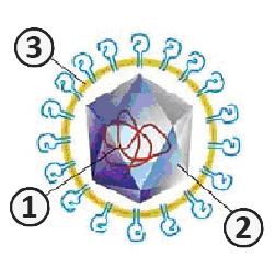 Суперкапсид - Схема сложного (оболочечного) вируса