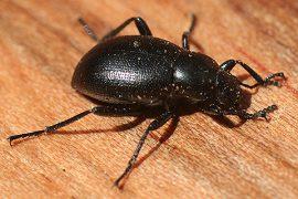 Абиотические факторы - Чернотелка Eleodes