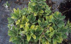 Неблагоприятные абиотические факторы окружающей среды - Хризантема. Симптомы дефицита азота