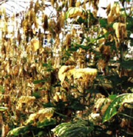 Неблагоприятные абиотические факторы окружающей среды - Холодовой ожог листьев огурца