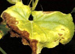 Неблагоприятные абиотические факторы окружающей среды - Химический токсикоз огурца