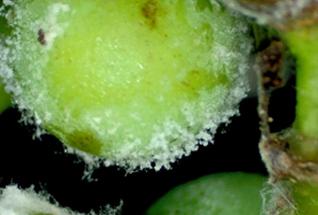 Болезнь растения - Милдью – форма серая гниль.