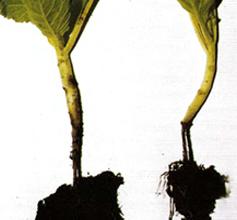 Болезнь растения -  Черная ножка рассады капусты