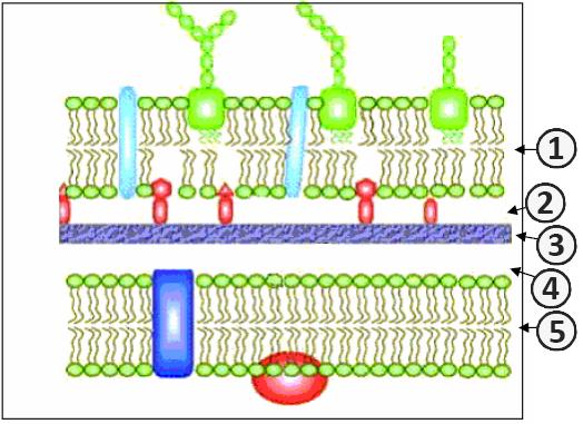 Грамотрицательные бактерии - Клеточная стенка грамотрицательных бактерий