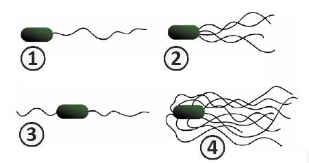 Жгутики - Типы жгутикования у бактерий