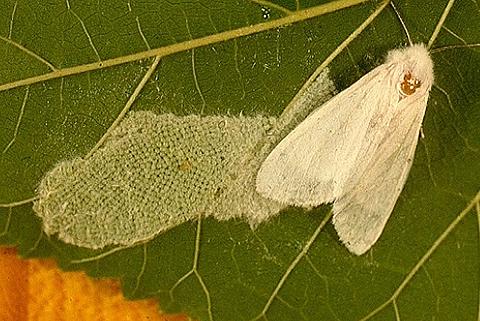 Ареал - Американская белая бабочка