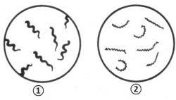 Извитые бактерии - Извитые бактерии