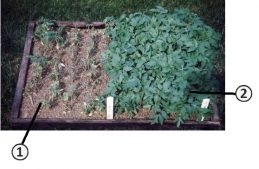 Инфекционная болезнь - Сорта садового помидора (<em>Solanum lycopersicum</em>) <br />различные по иммунитету <br />к заболеванию фузариозне увядание.
