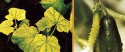 Неинфекционная болезнь - Нарушение минерального питания:<br />симптомы дефицита азота у огурца.
