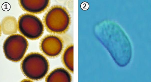 Спора - Споры грибов Класса <br />Базидиомицеты (<em>Basidiomycetes</em>)