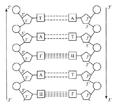 Фитопатогенные вирусы - Схема первичной структуры двухцепочечной ДНК фитовируса.