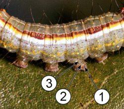 Брюшные придатки - Строение ложных ног гусеницы