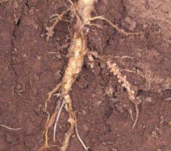 Азотфиксирующие бактерии - Азотофиксирующие бактерии Rhizobium на корне люцерны