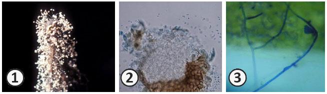 Анаморфные грибы - Анаморфные грибы