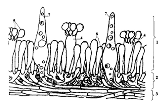 Трама - Схема строения шляпки агарикоидного базидиомицета