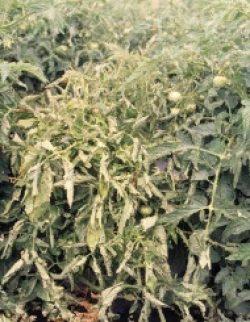 Симптомы вирусных болезней растений - Деформация листьев томата