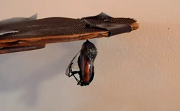 Превращение (метаморфоз) насекомых - Видео демонстрирует выход бабочки Монарха из кокона