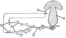 Соматогамия - Развитие базидиальных грибов