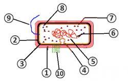 Цитоплазма - Схема строения бактериальной клетки